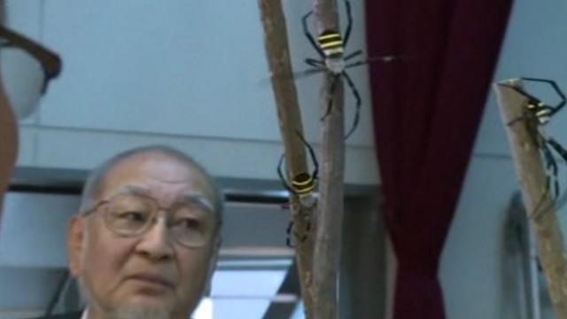 Jepang menggelar acara tahunan adu laba-laba, turnamen yang dimulai ...