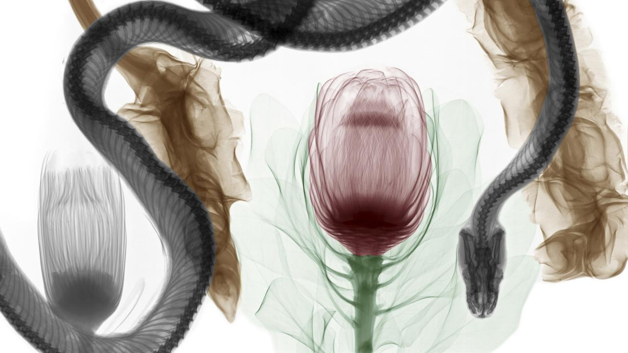 Python and protea flower. The snake's trachea is visible (credit: Arie van 't Riet / SPL)