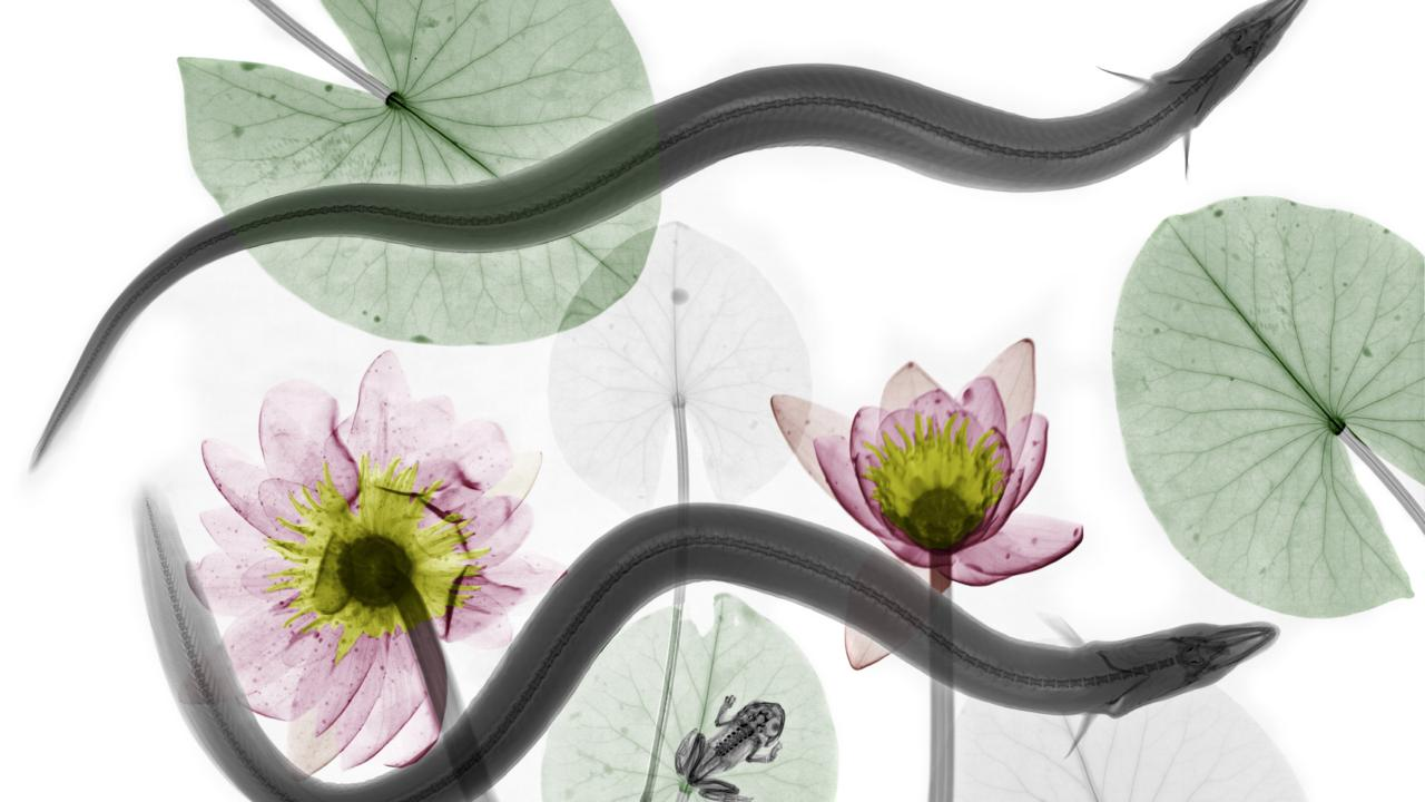 Eels from the market with water lilies. Spot the frog (credit: Arie van 't Riet / SPL)