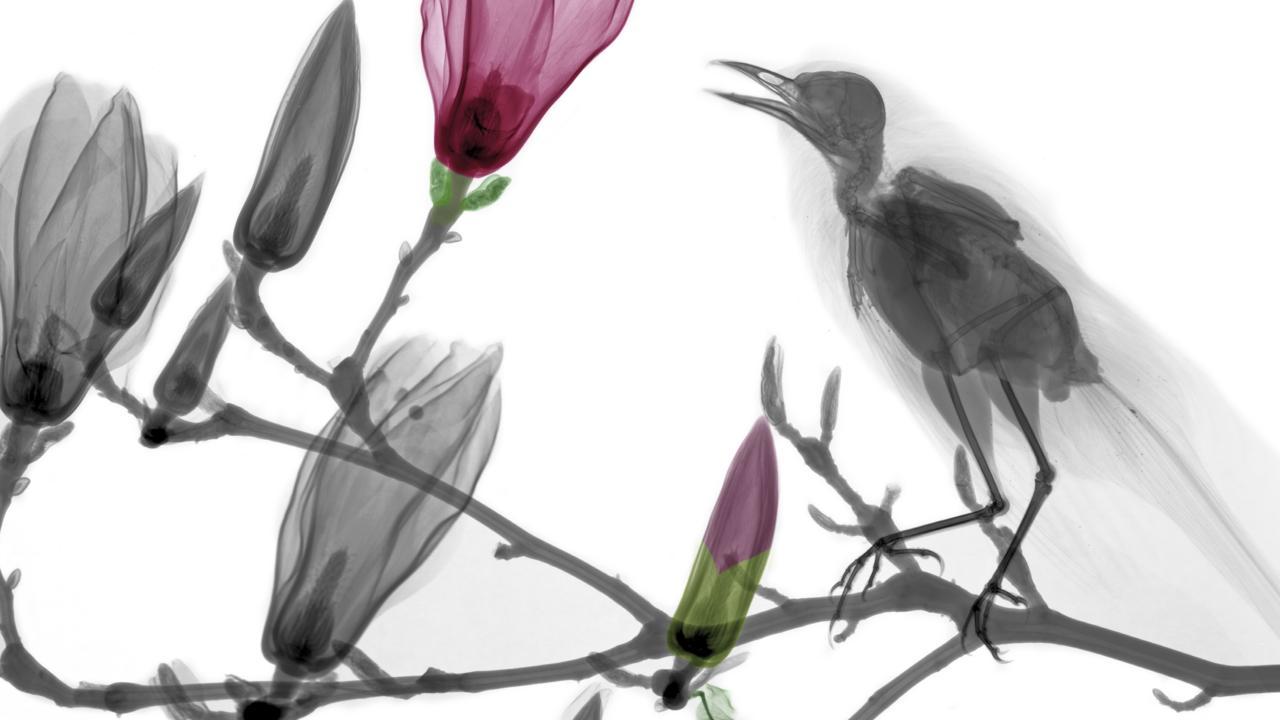A blackbird resting on magnolia (credit: Arie van 't Riet / SPL)
