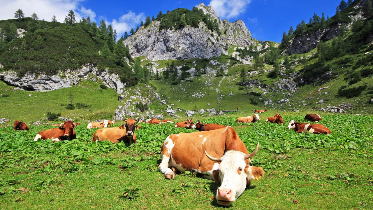 Cows graze in mountain pastures in the Julian Alps (Credit: Credit: Jezer Mojca Odar)