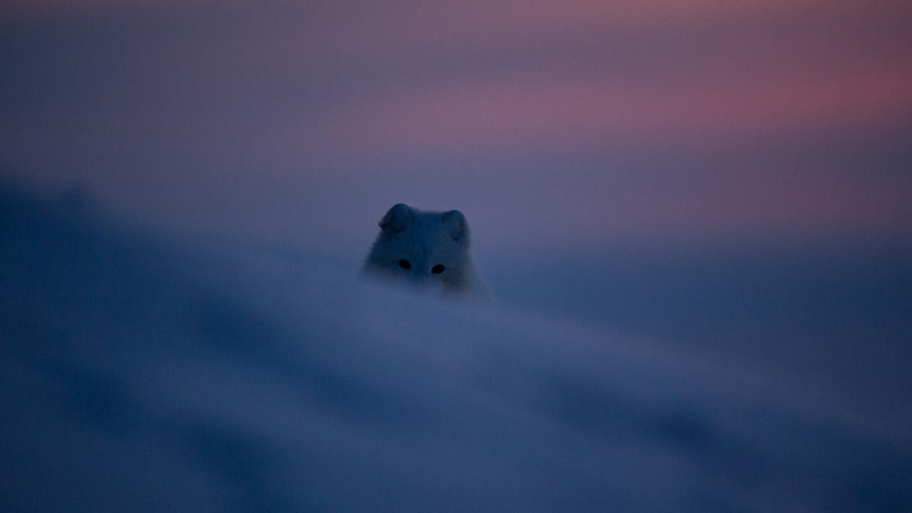 Arctic fox (Vulpes lagopus) in Thule, Greenland (Credit: Morten Hilmer)