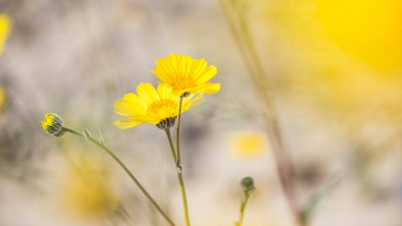 Desert gold (Geraea canescens) blossoms in Death Valley National Park (Credit: Credit: Sivani Babu)