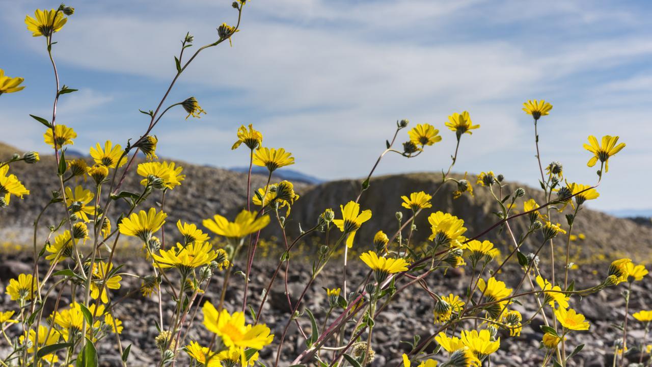 Tangled stalks of desert gold (Garaea canescens) flowers (Credit: Credit: Sivani Babu)