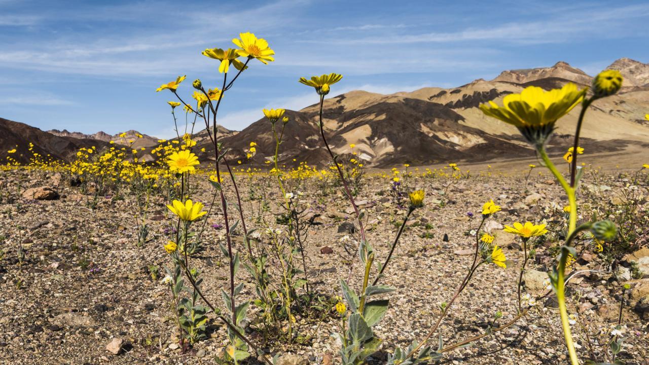 Desert gold (Geraea canescens) blooms along Badwater Road (Credit: Credit: Sivani Babu)