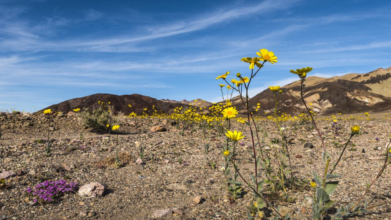 Desert gold (Geraea canescens) and purple mat (Nama demissum) flowers along Badwater Road (Credit: Credit: Sivani Babu)