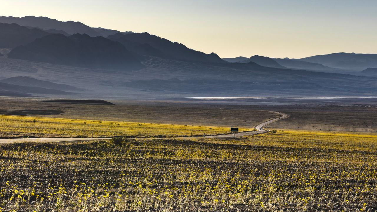 Dramatic stretches of desert gold (Geraea canescens) blooms flank Badwater Road (Credit: Credit: Sivani Babu)