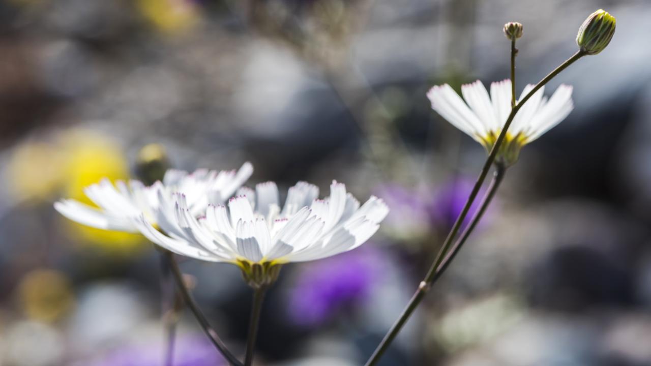 The ethereally pale blossoms of gravel ghost (Atrichoseris platyphylla) along Furnace Creek Wash (Credit: Credit: Sivani Babu)
