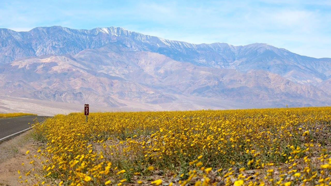 Swaths of flowers south of Badwater Basin at mile 27 (Credit: Credit: Tom Wittwer)