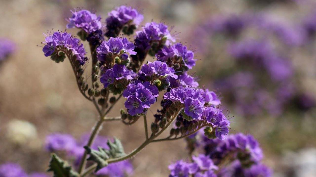 Notch-leaf Phacelia flowers during Death Valley's super bloom (Credit: Credit: Tom Wittwer)