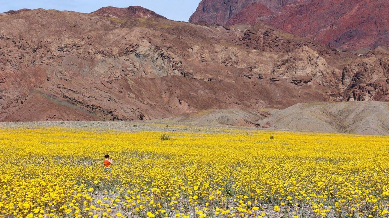 Death Valley's super bloom awash in gold (Credit: Credit: Tom Wittwer)