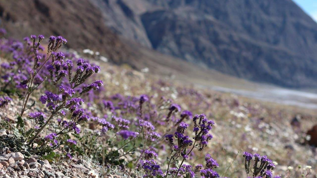 Notch-leaf Phacelia growing along the roadside (Credit: Credit: Tom Wittwer)