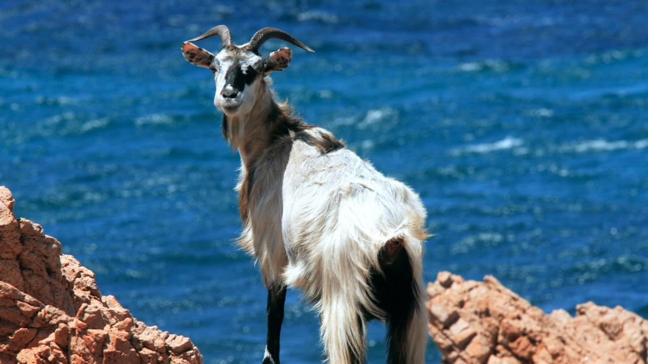 A rare species of wild goats roam Tavolara (Credit: Credit: REDA &CO srl/Alamy)