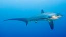 Thresher shark (Credit: Kelvin Aitken/Thresher Shark Divers)