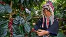 Akha Ama Coffee Journey Thailand (Credit: Kevin Landwer-Johan/Getty)