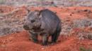 A northern hairy nosed wombat (Credit: Department of Environment and Heritage Protection, Queensland, Australia)
