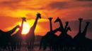 Botswana, giraffes, wildlife, horse trekking safari, Africa (Credit: Digital Vision/Getty)