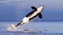 Thriller whale (Credit: AP)