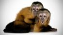 Capuchin monkeys have been observed caring for the young of other species (Thinkstock) (Credit: Thinkstock)