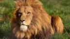 Fencing off wild lions from humans 'could save them'
