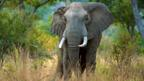 African elephant in Tanzania (Alamy)