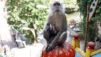 No monkey business here — really