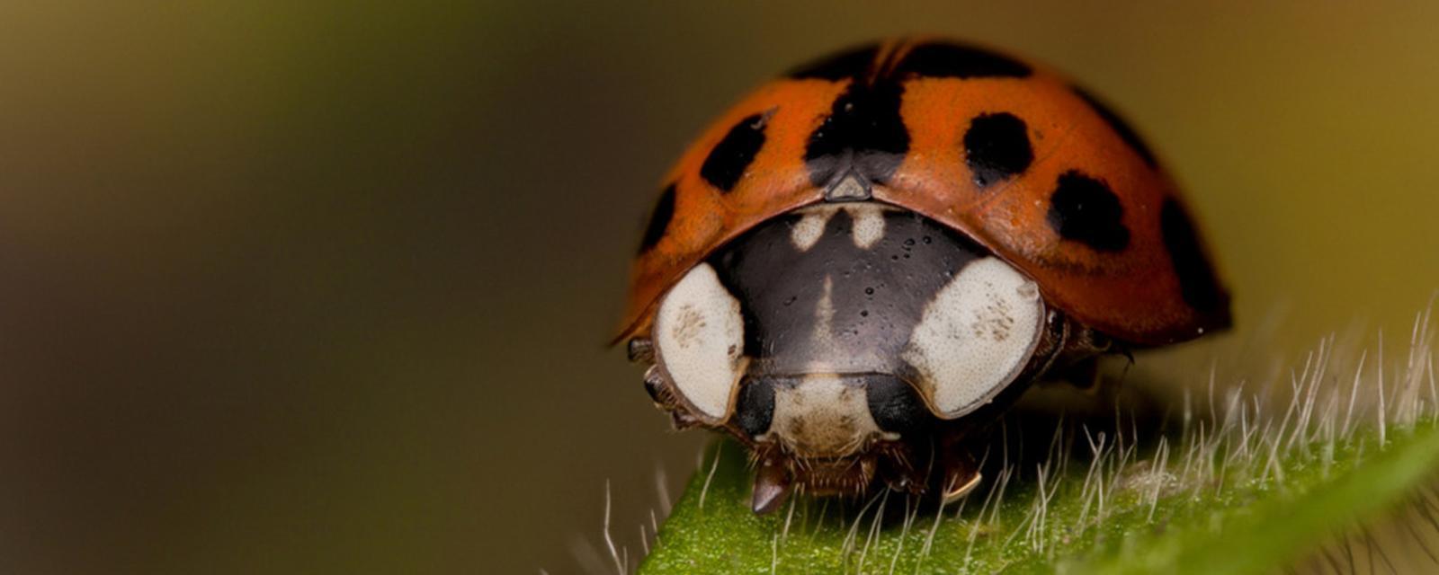 Earth - Secrets of the harlequin ladybird revealed