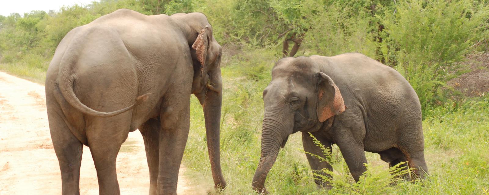 Earth - Dwarf elephant beats up big rival
