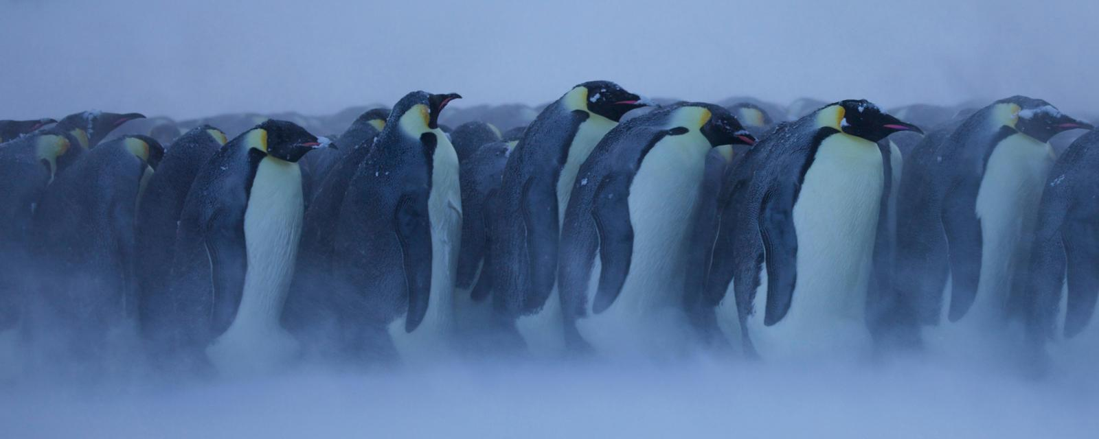 There is good reason penguins huddle to keep warm (Credit: NPL/Alamy)