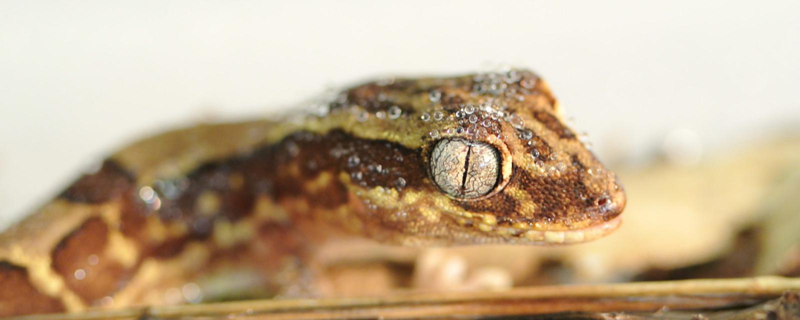 A gecko with astonishing skin (Credit: Jolanta and Gregory Watson)
