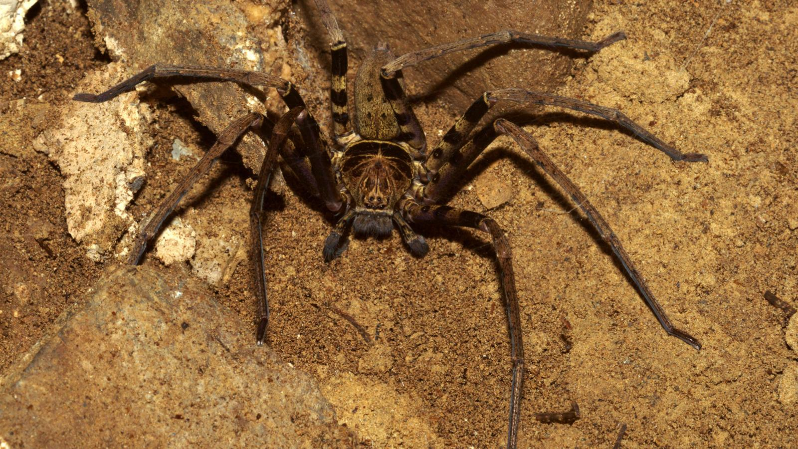 Giant huntsman spider (Heteropoda maxima) (Credit Michal Cerny/Alamy Stock Photo & The worldu0027s largest spider is the size of a dinner plate u2013 The ...