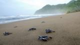 Home to five of the world's seven species of sea turtle, Sri Lanka is giving tourists the chance to see turtles, while hoping saving them at the same time.