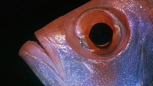 BBC - Earth - How do you entertain a fish?