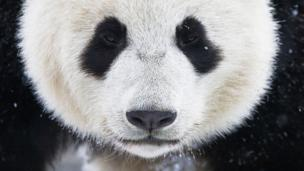 Giant pandas in China: live