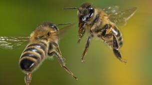 A pair of worker honeybees, Apis mellifera (Credit: blickwinkel / Alamy)