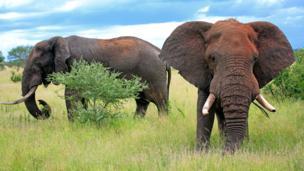 Two male African elephants (Loxodonta africana) (Credit: imageBROKER / Alamy)