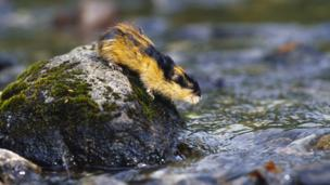 Norwegian lemming (Credit: Solvin Zankl / Visuals Unlimited, Inc / Science Photo Library)