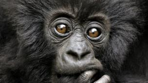 Curious gorillas may go far (Credit: Andy Rouse / NPL)