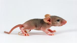 With a few genetic tweaks, even mice can have virgin births (Credit: Jane Burton / NPL)