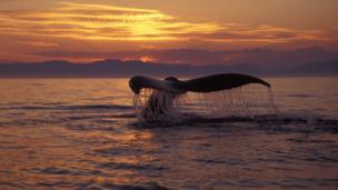 A humpback whale (Megaptera novaeangliae) (Credit: Brandon Cole / NPL)