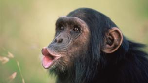 A chimpanzee (Pan troglodytes) pant-hooting (Credit: Anup Shah / NPL)