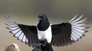 Why does Magpie steal shiny objects to decorate its nest