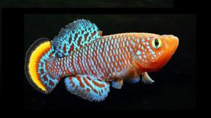 Many killifish are incredibly short-lived (credit: Day Donaldson/CC by 2.0)