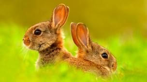 A pair of juvenile European rabbits (Oryctolagus cuniculus) (Credit: Ben Hall/NPL)