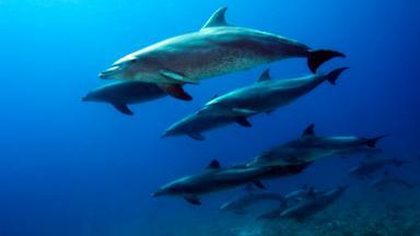 A pod of bottlenose dolphins (Tursiops truncatus) (Credit: Georgette Douwma/naturepl.com)