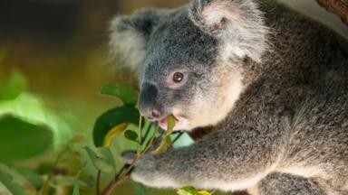 Koalas are native to Australia (Credit: Suzi Eszterhas/naturepl.com)