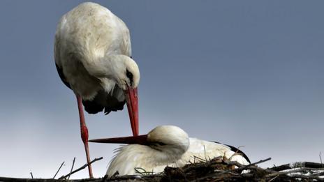 White storks (Thinkstock)