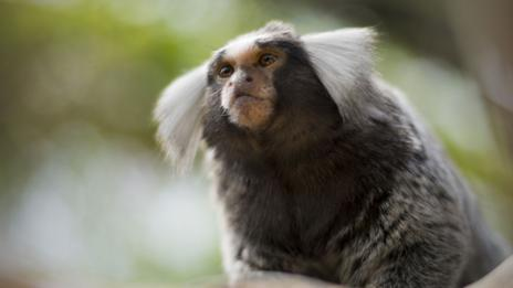 Marmoset (Thinkstock)