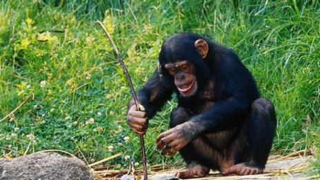 A chimp using a tool, which researchers once thought impossible (SPL)