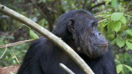 Chimpanzee at Gombe National Park (Thinkstock)